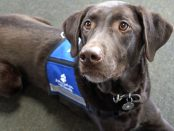 "Palmer, a chocolate Labrador retriever, lays looking eagerly off to the left while wearing a blue ""ask to pet me"" vest"