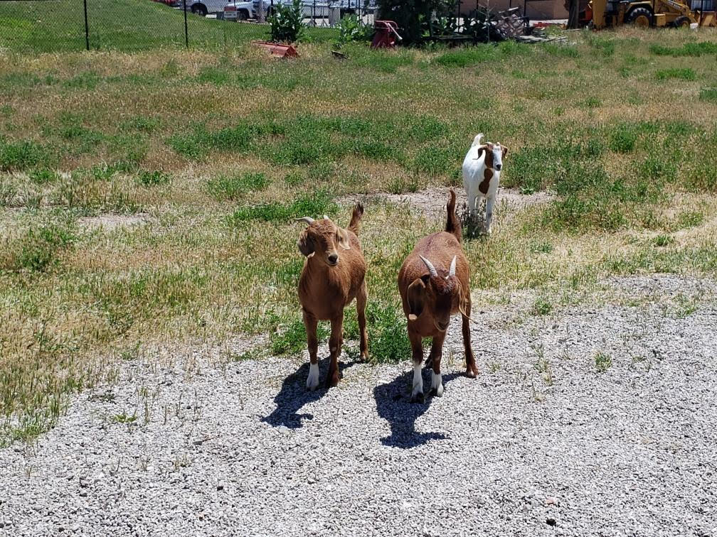 Two brown goats and one spotted goat