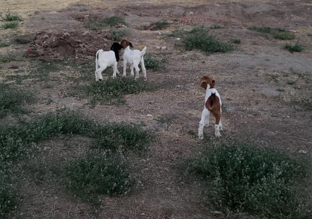 Baby goats roam
