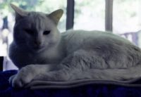 Catalina, a white cat with blue eyes