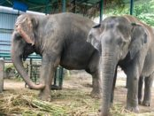 Two Asian elephants