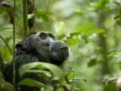 An adult chimpanzee looks upward
