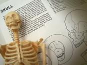 Anatomy skeleton