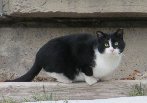 A black and white mama cat