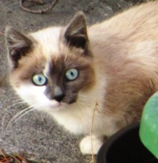 Mokie, a blue-eyed cat