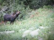 Bull Moose at Mt. Timpanogos