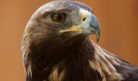 A golden eagle inside Tracy Aviary