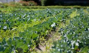 Bell Organic field in Sandy