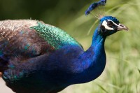 A male peacock inside Tracy Aviary