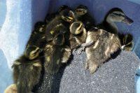 Ducklings on a blanket
