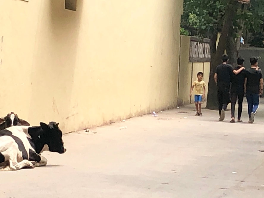 Two cows resting as civilians walk by