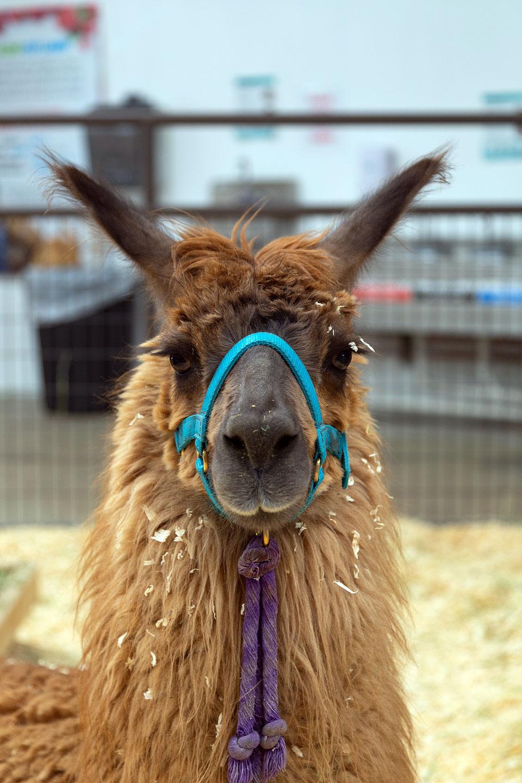 Llama wearing a rein