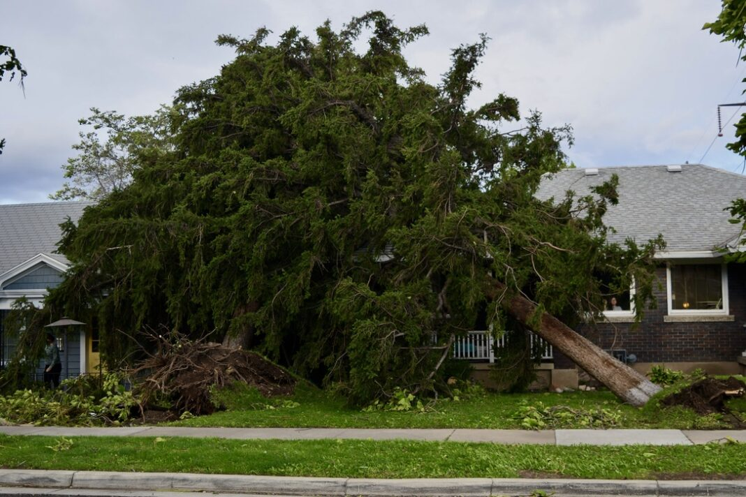 Two large confier trees uprooted