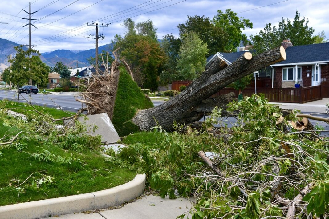Uprooted tree lifts up sidewalk