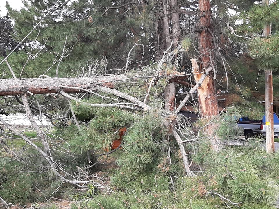 Pine tree snapped in half