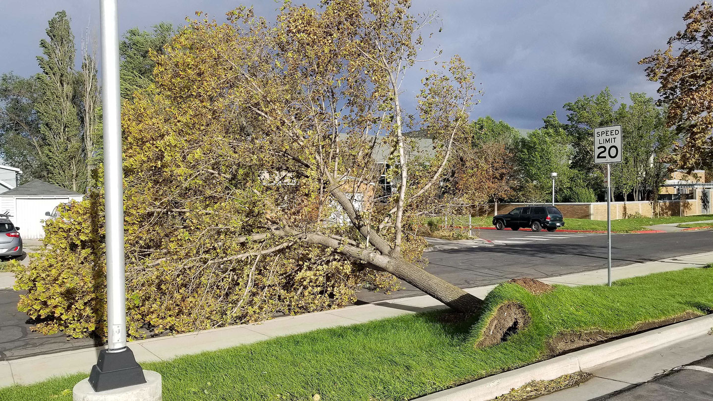 Uprooted mature tree laws across sidewalk
