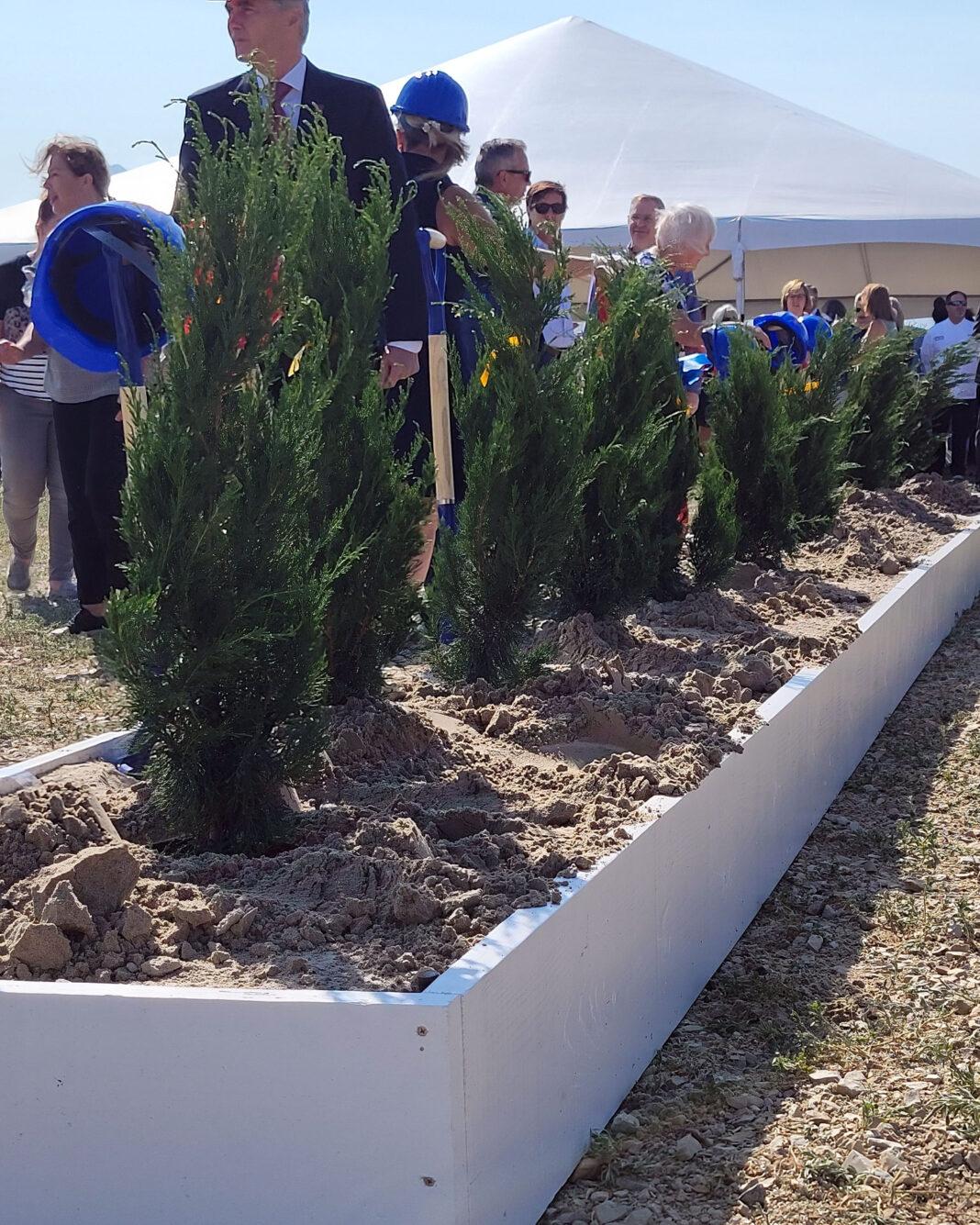 Row of planted juniper trees