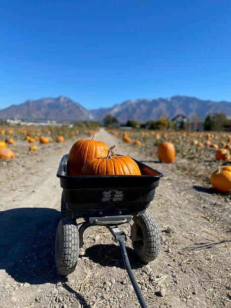 Pumpkins sitting in a cart at a pumpkin patch