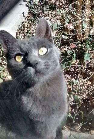 Greykin, a grey feral cat