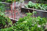 Tomato plant in the SLCC Community Garden