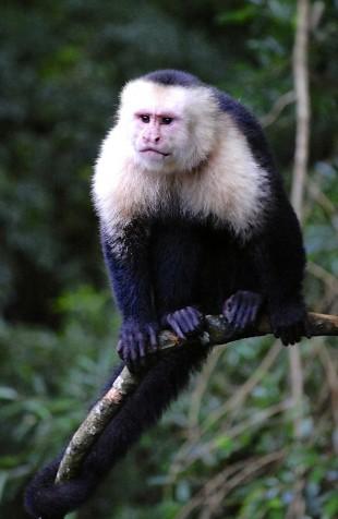 Primate in the wild