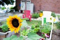 Sunflower in foreground of SLCC Community Garden
