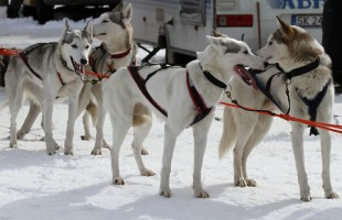 Sled dog team before the start of the race