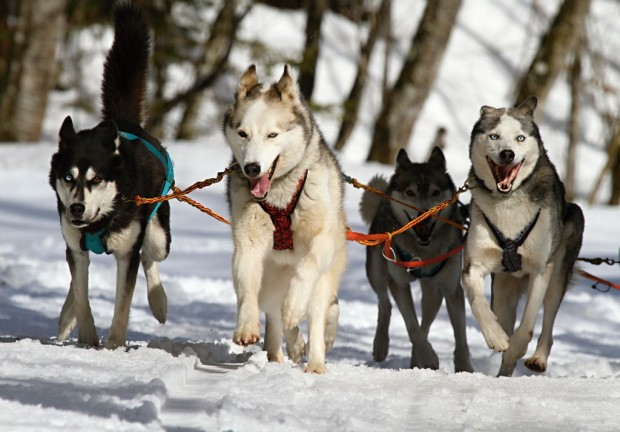 Huskies race through the snow