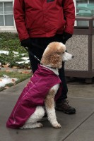Dog waits to walk